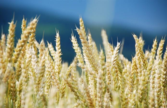 d07da49-wheat-1786977-1280
